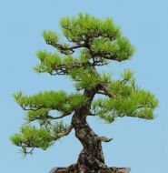 Japanese Red Pine 10 Seeds - Unique Habit,Twisted Trunk,Brilliant Bonsai/Garden